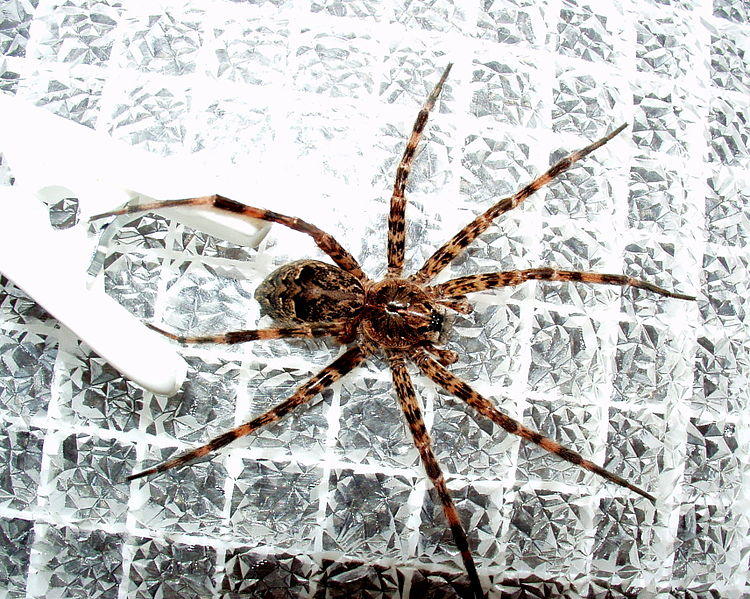 Sex Itself is Deadly for These Poor Little Male Spiders ...