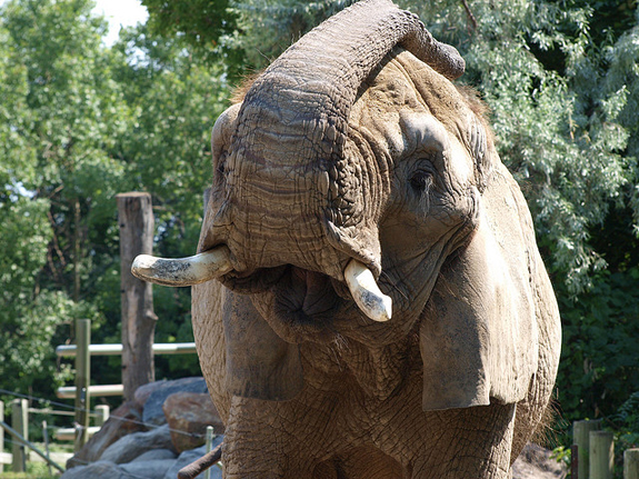 An elephant at the Toronto Zoo.