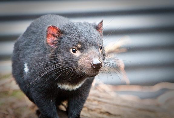 cancer devil facial killing tasmanian