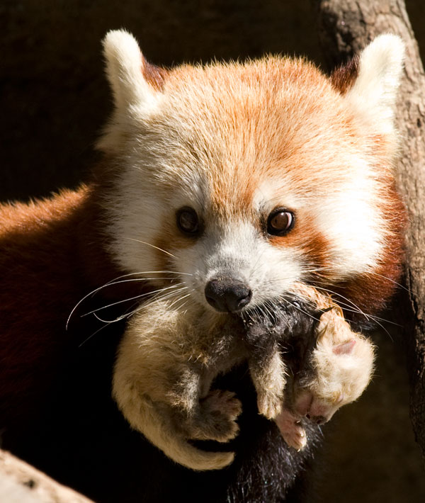 The National Zoo's red panda and new cub. Photo by Mehgan Murphy