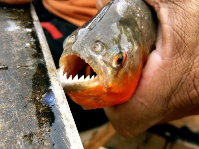 A piranha, courtesy of Flickr user lcrf