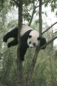 Panda at play or new-age birthing method? You decide. Photograph by Jessie Cohen, courtesy of the National Zoo.