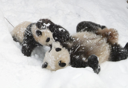 Pandas playing in the snow at the National Zoo. Photo by Ann Batdorf/NZP.