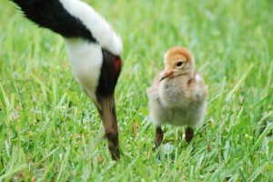 The new baby white-naped crane. Image Courtesy of the National Zoo.