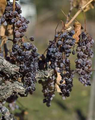 "Wine grapes with botrytis fungus, or ""noble rot."" Courtesy of Flickr user ah zut"