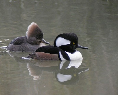 A hooded merganser, not your usual duck. Courtesy of Flickr user len blumin