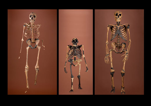 This collection of skeletons that will be on display at the National Museum of Natural History's new David H. Koch Hall of Human Origins show how human shape and size has evolved over time.