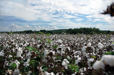 Cotton fields, image courtesy of Flickr user Brian Hathcock