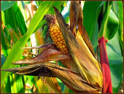 Corn stalk, courtesy of Flickr user krzychud1