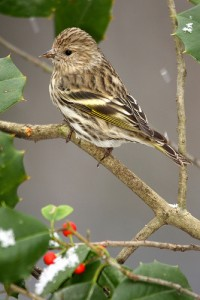Pine siskins are busting out all over. Image courtesy of Flickr user Jason Means.