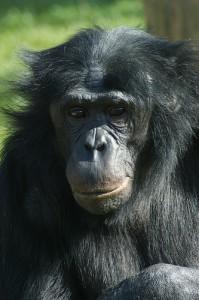 Like humans, bonobos will share (courtesy of flickr user tim ellis)