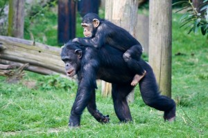Although chimpanzees usually walk on all fours, sometimes they walk on two legs. Image courtesy of Flickr user DrewLX
