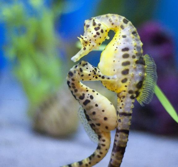 seahorses inspire new armor designs smart news smithsonian