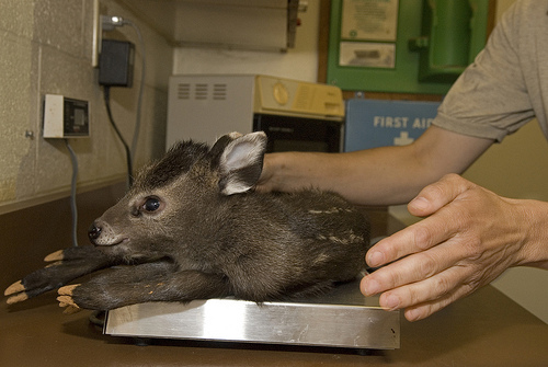 A tufted deer is weighed at the National Zoo Research Center. Photo by Lisa Ware, courtesy of the Smithsonian Institution.