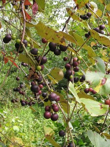 Wild muscadine grapes, courtesy of Flickr user The National Capital