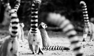 Ring-tailed lemurs, courtesy of Flicker user E01
