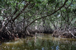 Mangrove forest, courtesy of Flickr user peyri