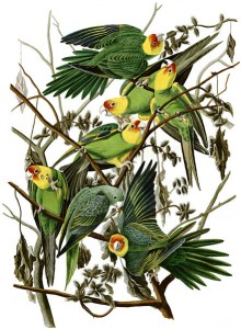 Audubon's painting of Carolina parakeets (via wikimedia commons)
