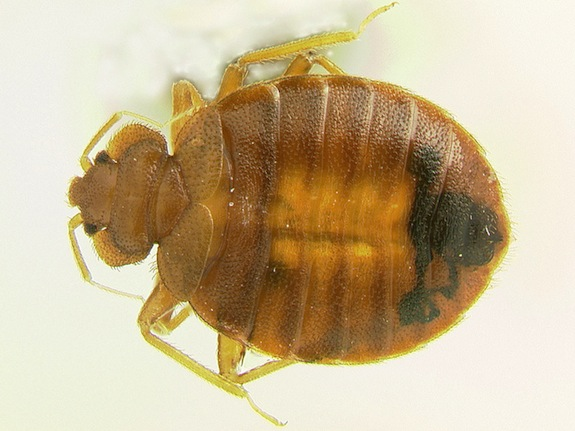 The Definitive Guide To Bedbug Sex Smart News Smithsonian