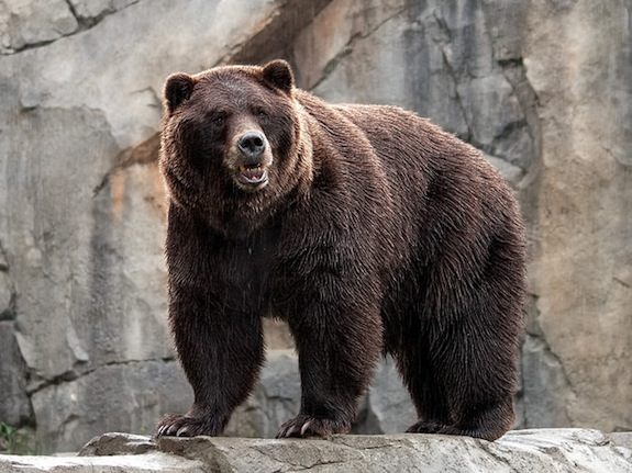 the science of how to survive a bear attack smart news smithsonian