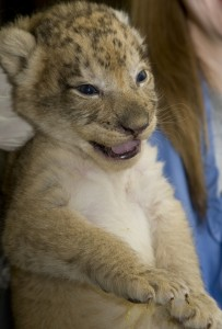 One of Nababiep's cubs gets its first physical exam. Photo by Mehgan Murphy, National Zoo.