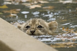 A lion cub paddles to the edge of the moat in the Great Cats exhibit. Mehgan Murphy, National Zoo.