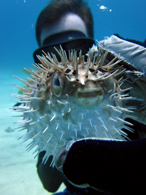 Pufferfish S Deadly Toxin Could Help Chemo Patients