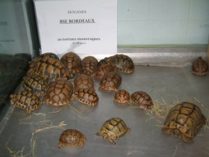 Spur-thighed tortoises seized by French customs