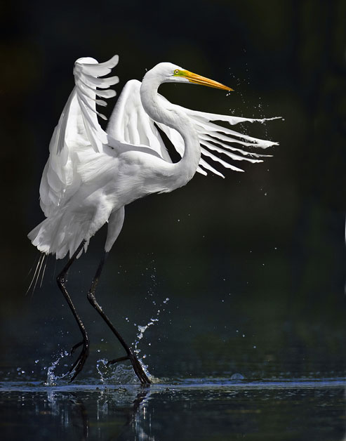 A Great Egret fishing in shallow waters