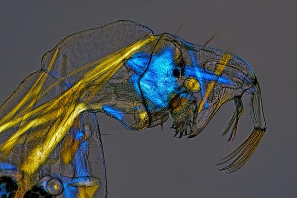 glassworm midge larva