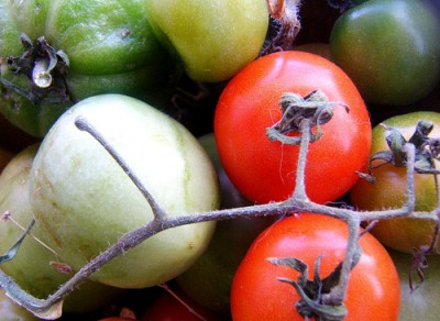 Heirloom tomatoes on the vine. Courtesy Flickr user LensENVY