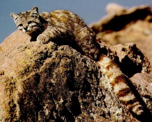 Andean cat (via Wikimedia Commons)