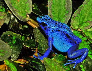 Blue poison dart frog (via wikimedia commons)