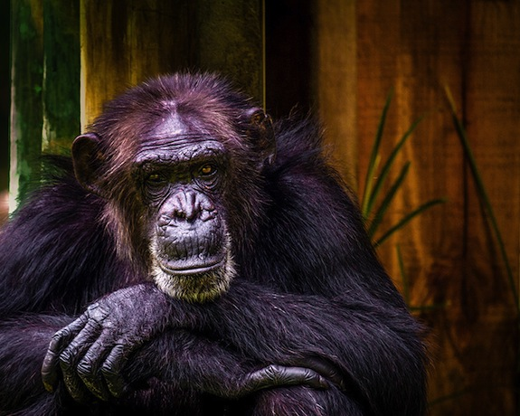 Why Are Chimpanzees Stronger Than Humans? | Smart News