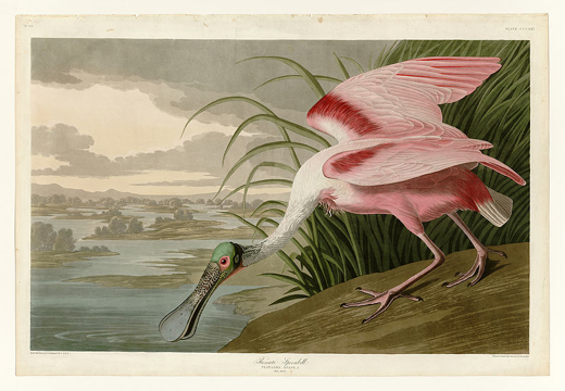 A print of Audubon's painting of a roseate spoonbill (via wikimedia commons)