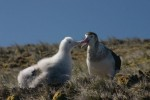 An Amsterdam albatross feeds a chick (via wikimedia commons)