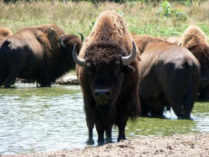 American bison (via wikimedia commons)