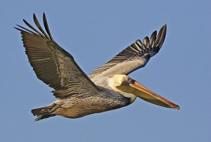 Brown pelican (via wikimedia commons)