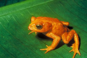 A male golden toad (via wikimedia commons)