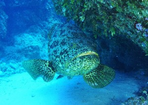 Goliath grouper (via wikimedia commons)