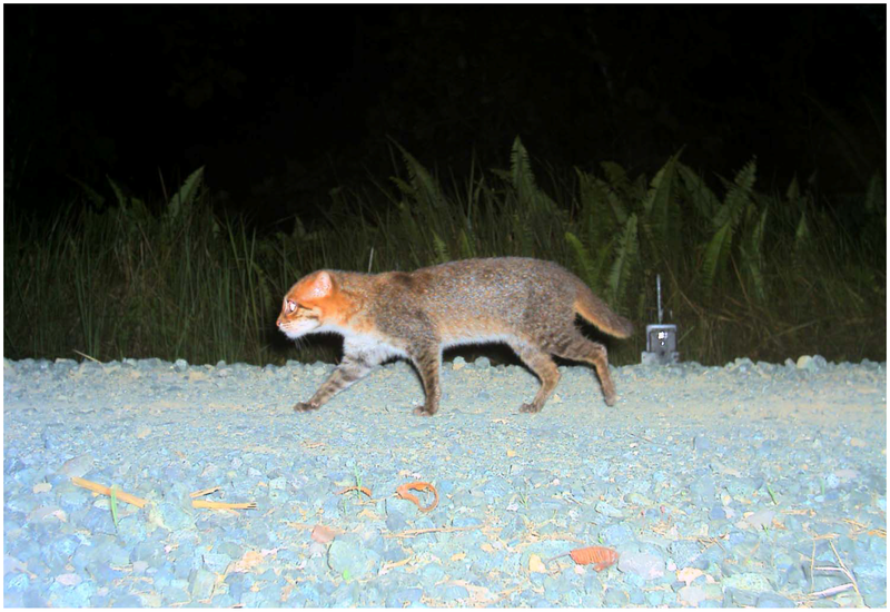 A flat-headed cat caught in a camera trap in Malaysia in March 2009 (from Andreas Wilting et al. via wikimedia commons)
