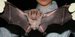 A Jamaican fruit bat (Courtesy of user Tobusaru on Wikimedia Commons)