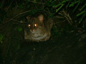 A rusty-spotted cat in the wild (via Wikimedia Commons)