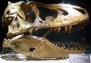 Tarbosaurus fossil, from Wikicommons