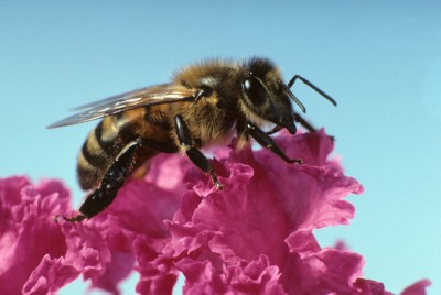 Honey bee, courtesy ARS News Service