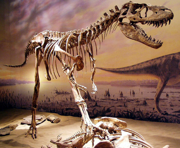 The skeleton of Albertosaurus on display at the Royal Tyrrell Museum. Image from Wikipedia.