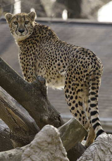 Amani, a two-year-old female cheetah, explores her new surroundings at the Smithsonian's National Zoo. Photo courtesy of the National Zoo.