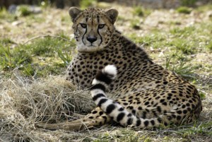 If all goes as planned, Amani will breed with at least one of the Zoo's three cheetah brothers at some point in the future. Photo courtesy of the National Zoo.