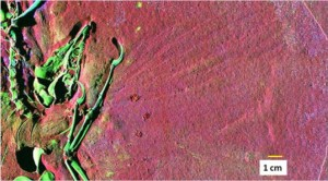 An SRS-XRF scan of the Thermopolis Archaeopteryx, showing the skull, one of the hands, part of the backbone, and other parts of the skeleton. The green color indicates the presence of zinc. From the PNAS paper.