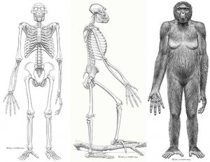 "An illustration depicting what ""Ardi"" may have looked like based on the fossils.  Photo courtesy of Science/JM Matternes"